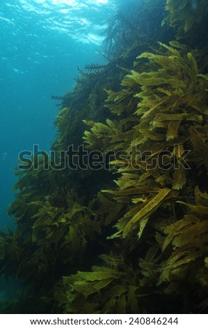 Steep rocky reef covered with kelp forest of Ecklonia radiata - stock photo