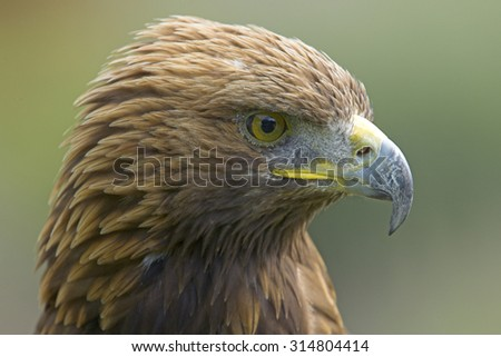 Steinadler, Aquila chrysaetos, Golden Eagle, Captive
