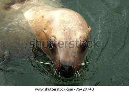 Stellar Sea Lion - stock photo
