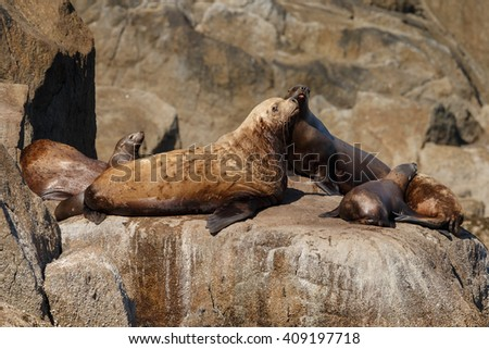 Stellar sea lion on rock at the Kenai Peninsula - stock photo