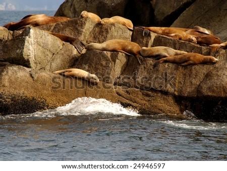 stellar sea lions - stock photo