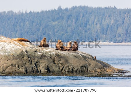 Stellar sea-lions in the sun on a rock in Johnstone strait, Vancouver Island - stock photo
