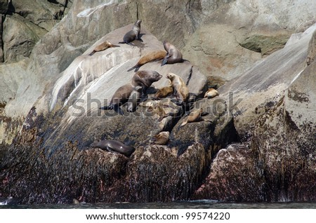 Stellar sea lions resting on a rock in Kenai Fjords National Park - stock photo