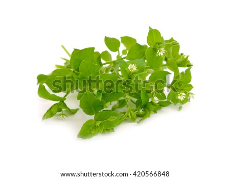 Stellaria flowers isolated on white background.