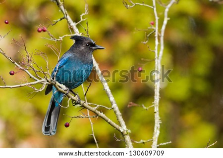 Steller's Jay (Cyanocitta stelleri).  A large, dark jay of evergreen forests in the mountainous West.