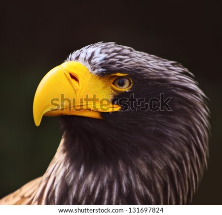 Steller's sea eagle (Haliaeetus pelagicus) - stock photo