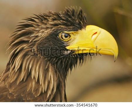 Steller�´s sea-eagle (Haliaeetus pelagicus) - stock photo