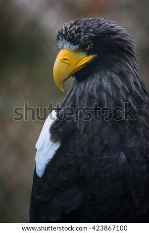 Steller's Sea Eagle (Haliaeetus pelagicus) Details of this beautiful bird of prey - stock photo
