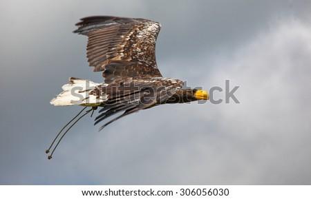 Steller's sea eagle (Haliaeetus pelagicus) in flight. - stock photo