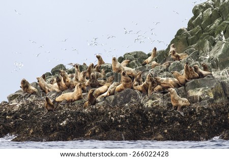 Steller sea lion rookery on cliffs of the island in the Pacific Ocean - stock photo