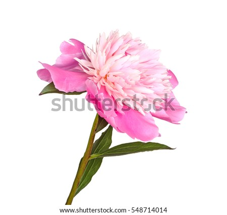 Stem, leaves and flower of a pink and white, anemone-type peony isolated against a white background