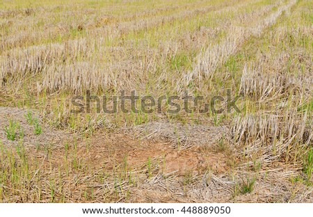 Stem of rice in the field after harvest , Thailand