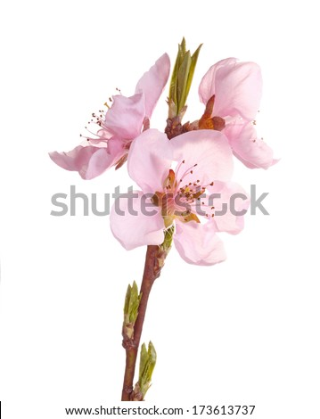 Stem with pink flowers of a nectarine (Prunus persica variety nucipersica) isolated against a white background