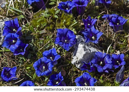 Stemless Gentian - Many blossoms of a stem less gentian on a mountain meadow - stock photo