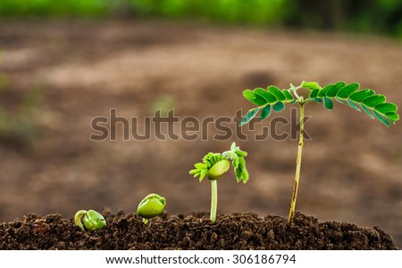 step of growing tamarind sprout - stock photo