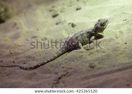 Steppe agama (Trapelus sanguinolentus). Wildlife animal.  - stock photo