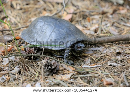 Steppe Central Asian turtle in the forest