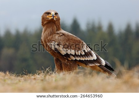 Steppe Eagle, Aquila nipalensis, sitting in the grass on meadow, forest in background - stock photo