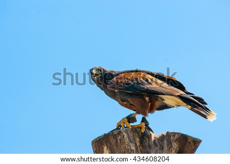 Steppe eagle on the top of a wooden tree log on blue background - stock photo