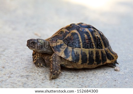 Steppe tortoise (Testudo (Agrionemys) horsfieldii) in its natural habitat crosses the road, space for text