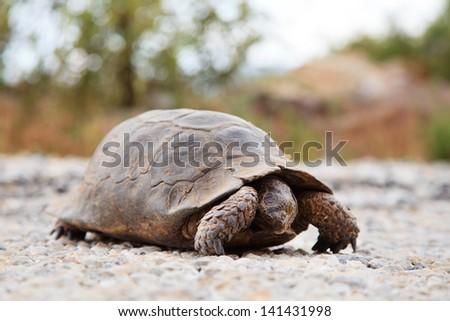Steppe tortoise (Testudo (Agrionemys) horsfieldii) in its natural habitat, prairie, Turkey - stock photo