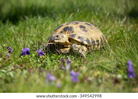 Steppe tortoise, Testudo (Agrionemys) horsfieldii in the garden - stock photo