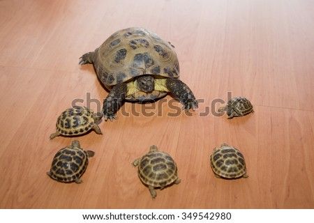 Steppe tortoise, Testudo (Agrionemys) horsfieldii with their young  - stock photo