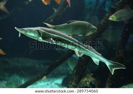 Sterlet (Acipenser ruthenus). Wildlife animal.  - stock photo