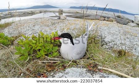 Sterna paradisaea, Arctic Tern. The photo was taken in the Kandalaksha Gulf of the White Sea. Russia, Murmansk region. Island Lodeinoe. - stock photo