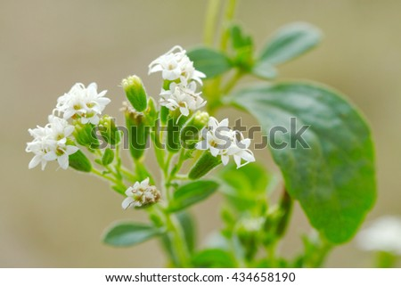 Stevia  plant (Stevia rebaudiana)/ candyleaf/sweetleaf or sugarleaf ; The native shrub plant of South America  that use as a resource of sweetener in food, drink  and medicine - stock photo