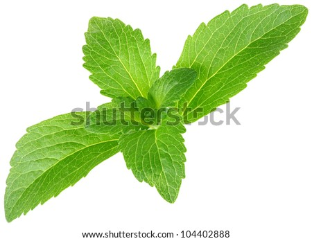 Stevia rebaudiana, sweet leaf sugar substitute isolated on white background