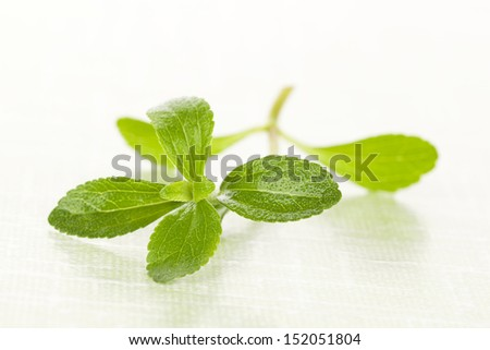 Stevia sugar leaf isolated on green background. Fresh natural aromatic culinary healthy herbs.  - stock photo