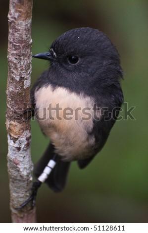Stewart Island robin - stock photo