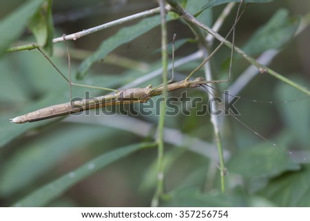 Stick grasshopper in forest of Maewong national park, Nakornsawan, Thailand. - stock photo