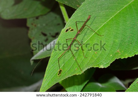 Stick Insect on a Large Leaf at Night, Toledo, Belize - stock photo