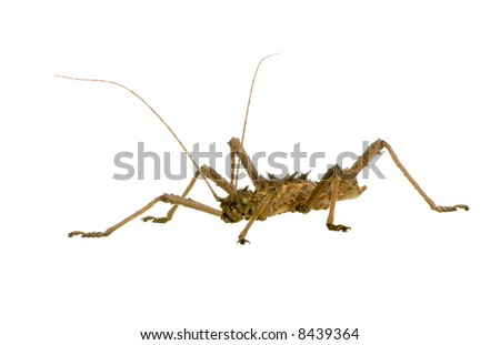 stick insect, Phasmatodea - Aretaon Asperrimus in front of a white backgroung