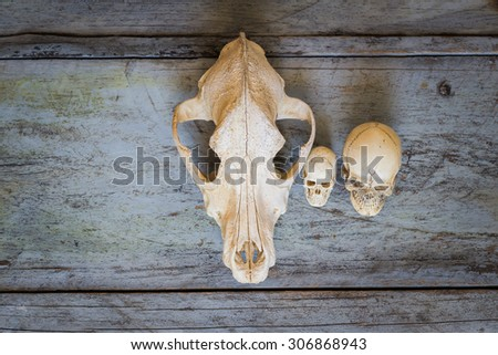 Still Life Canine skull close up of wooden Background