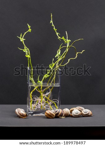 Still life composition with willow branches with small leaves and pink roots in a transparent vase and snail shells with black background