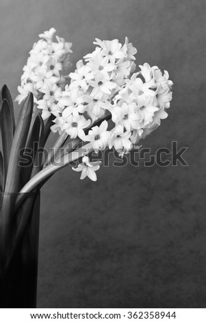 Still life of 3 hyacinth flowers in a glass vase in black and white or monochrome with lots of copy space, background - stock photo