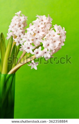 Still life of three light pink hyacinth flowers in a glass vase on vivid green background, copy space - stock photo