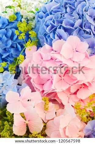 still life with  blue and pink hydrangea - stock photo