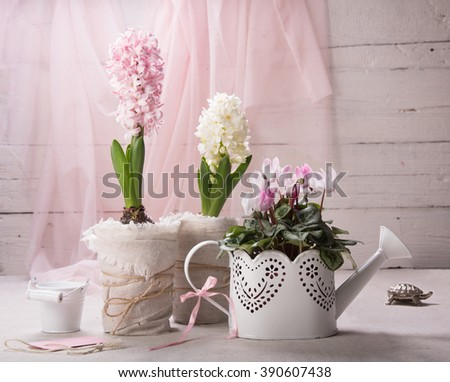 Still life with flowering hyacinth on a white background