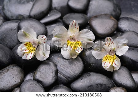 Still life with three white orchid on wet zen stones