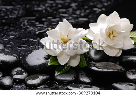 Still life with two gardenia with green plant on black pebbles  - stock photo