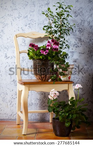 Still Life with two pelargonium and fuchsia on the chair - stock photo