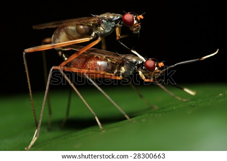 Stilt Legged Insects Mating
