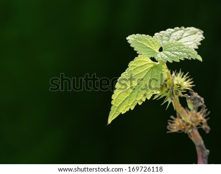 Sting nettle on beautiful green background/Sting nettle/Macro photography - stock photo