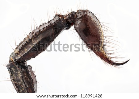 sting of black scorpion species palamnaeus fulvipes from Malaysia isolated on white background - stock photo