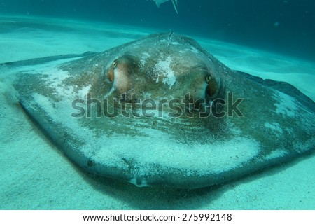 Sting ray up close
