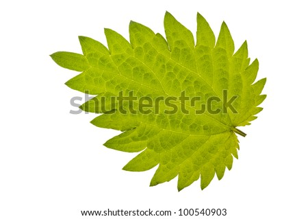 stinging nettle burn  isolated over white background